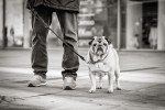 querformat-fotografie - Achim Katzberg - Street - Dogs - Der Mops - The Pug