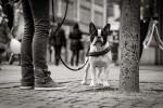 querformat-fotografie - Achim Katzberg - Street - Dogs - Zurich Streets #3 - Street Dog